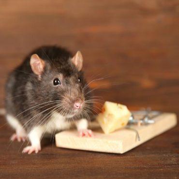 Rattenfalle